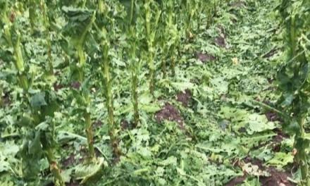 Otra tormenta de pedrisco arrasa al menos un millón de kilos de tabaco en La Vera
