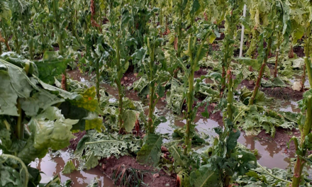 Una tormenta de granizo arruina cerca de 1.000 hectáreas de tabaco en el norte de Cáceres