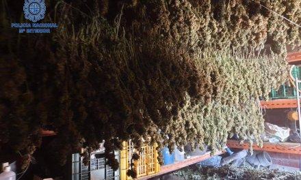 Dos detenidos en Villanueva de la Serena por plantar marihuana en una parcela
