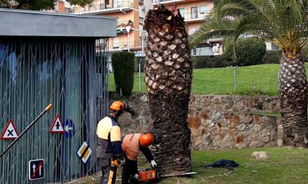 Comienza la eliminación de palmeras afectadas por el picudo rojo en Plasencia