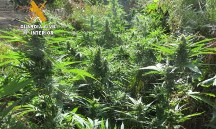 La Guardia Civil desmantela plantaciones de marihuana en Torre de Don Miguel, Riolobos y Torrejoncillo