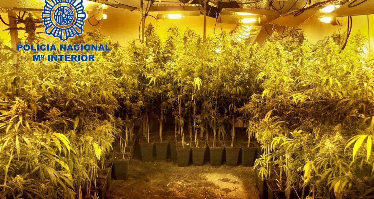 Detenida una pareja en Almendralejo por tener casi 250 plantas de marihuana en su vivienda