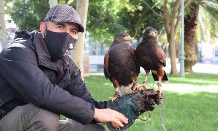 Halcones, águilas y azores para ahuyentar las palomas en Villanueva de la Serena