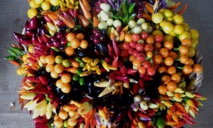 Extremadura potencia las variedades de pimiento para uso ornamental