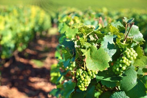 APAG Asaja asegura que un 80% de viticultores se han quedado sin ayudas