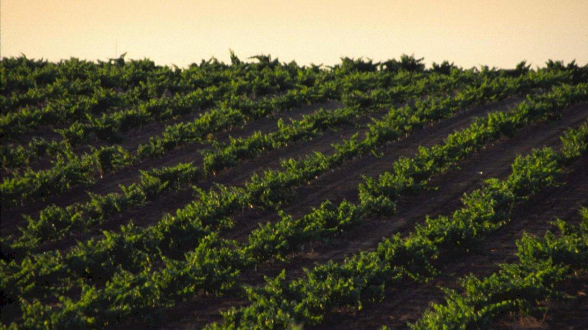 La Junta asegura que ha abonado el 99,9% de los fondos del sector vitivinícola