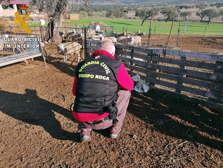Recuperan un centenar de cabezas de ovejas sustraídas en Valencia de las Torres
