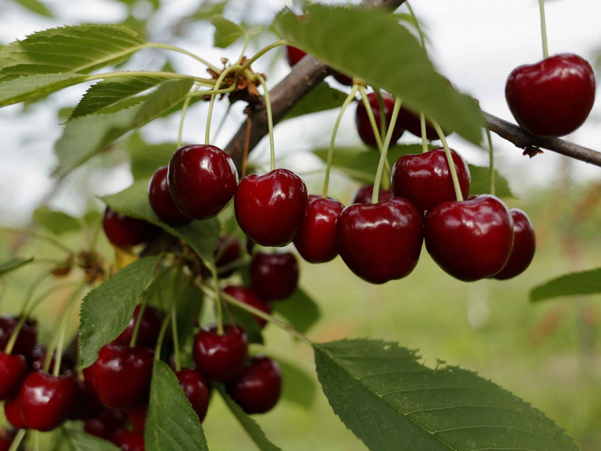 La Junta y el Jerte analizan posibles soluciones a los vertidos del sector de la cereza