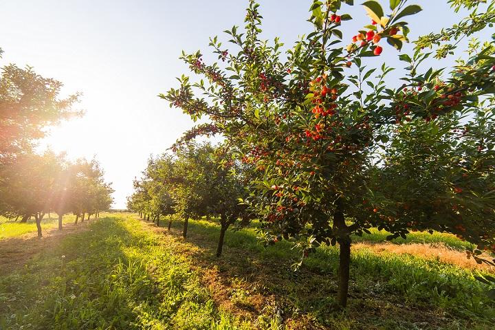 La Junta dará ayudas para nuevas plantaciones frutícolas