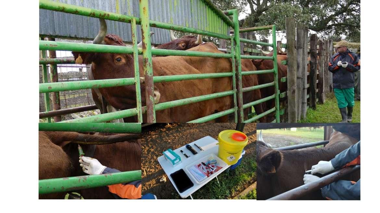 La prevalencia de la tuberculosis bovina desciende hasta el 4,92 por ciento en Extremadura
