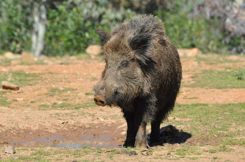 Extremadura regula la caza del jabalí al salto