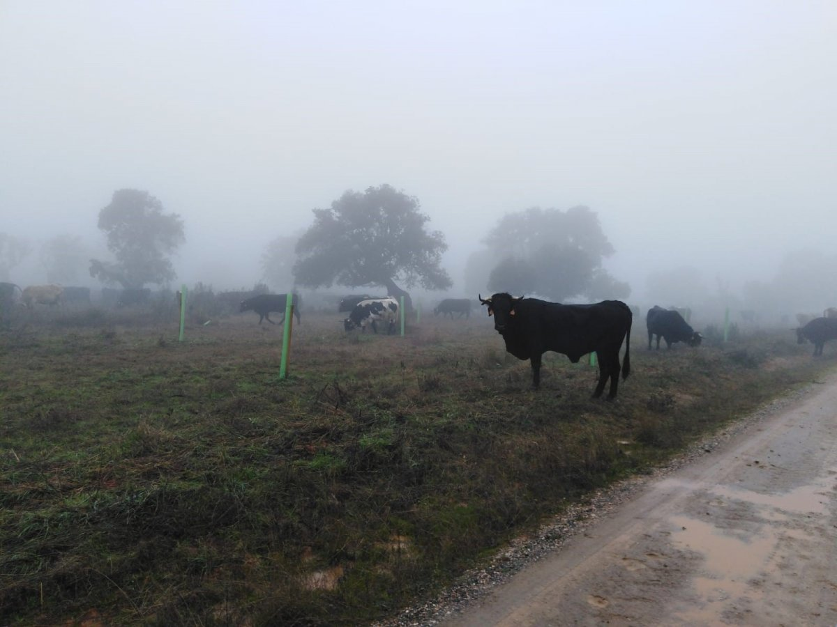 Unas 500 reses recorren 250 kilómetros por vías pecuarias de Extremadura