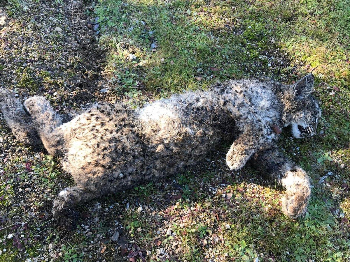 Encuentran muerto a un cachorro de lince en un espacio protegido de Don Benito