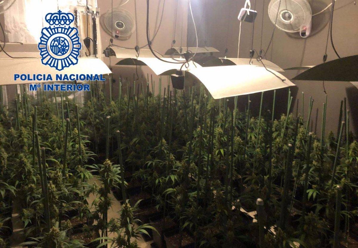Detenido el responsable de una plantación indoor de marihuana con 160 plantas en Mérida
