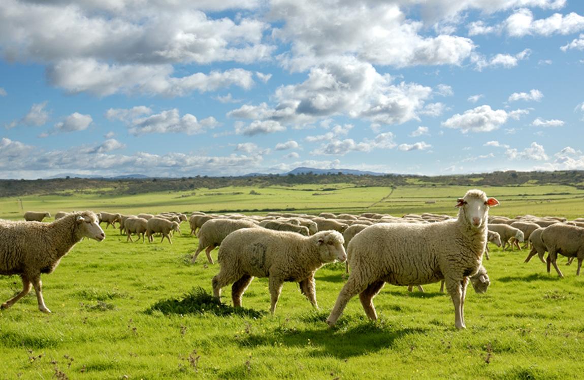 Las explotaciones de ovino y caprino afectadas por la Covid reciben más de 2 millones de euros