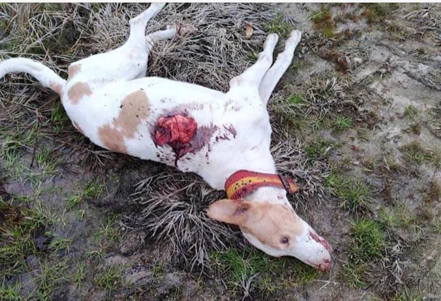 Unos desconocidos matan a tiros a 20 perros de una rehala y dejan malheridos a otros muchos en Casatejada