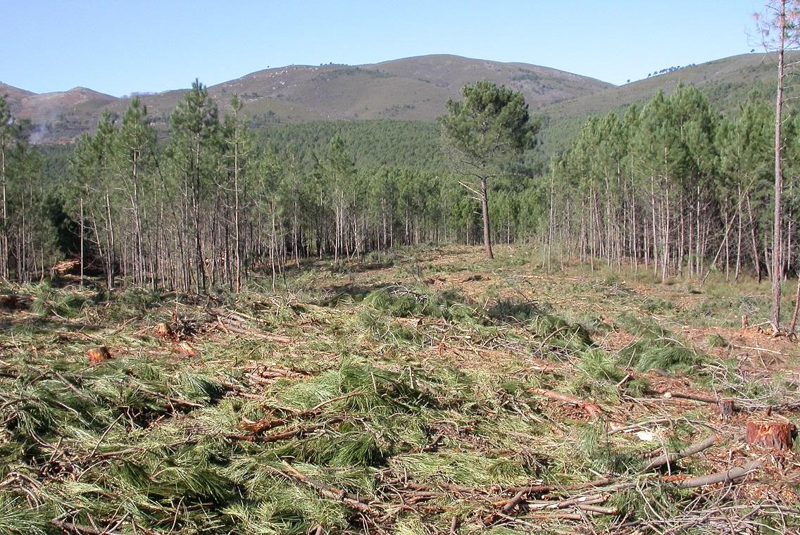 La Junta destina más de 3 millones para trabajos contra el nematodo del pino