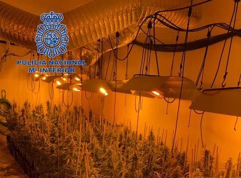 La Policía Nacional desmantela en Mérida una plantación de marihuana con casi 500 plantas