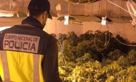 Detenidos en Badajoz los responsables de una plantación de marihuana con más de 126 plantas