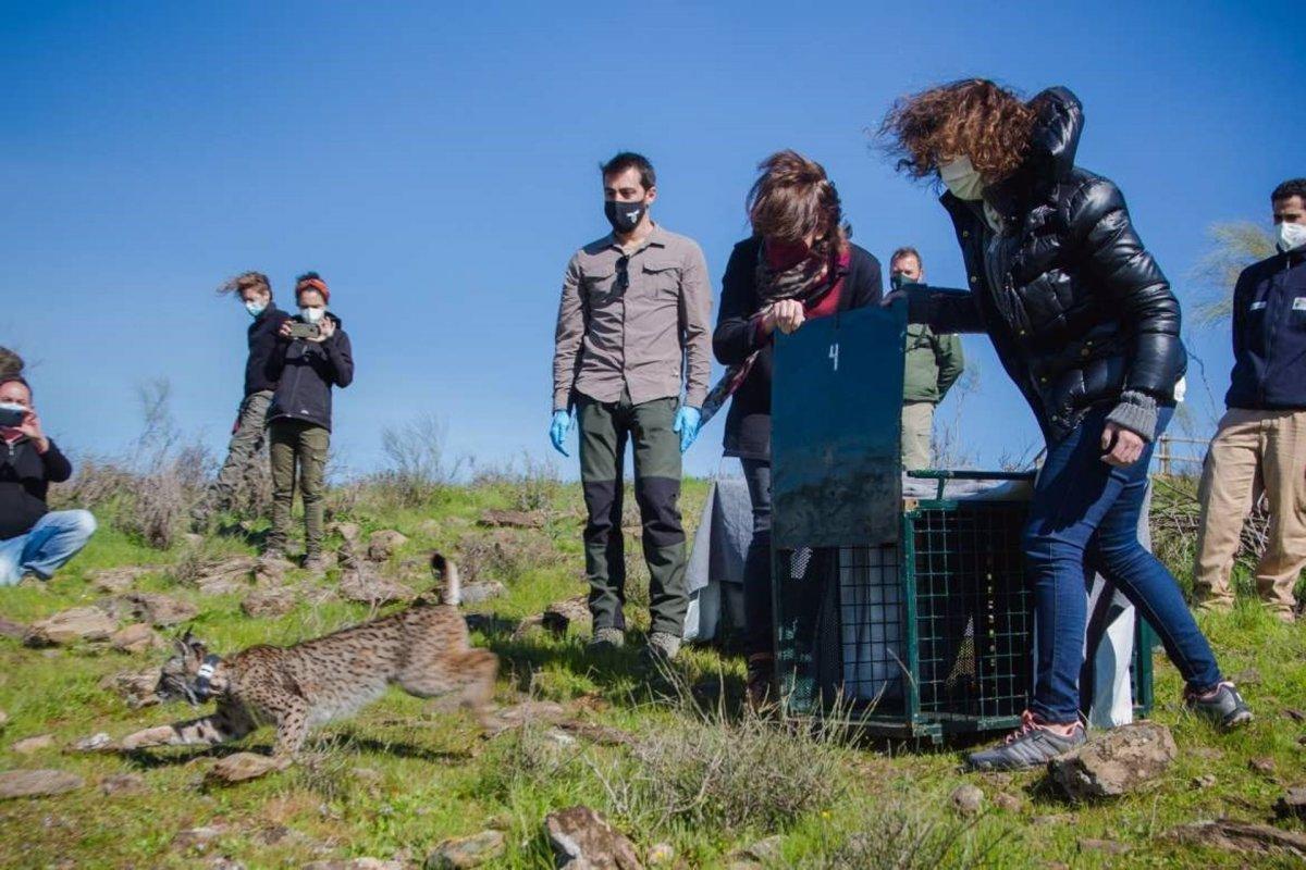Liberan dos ejemplares de lince en el Valle de Matachel