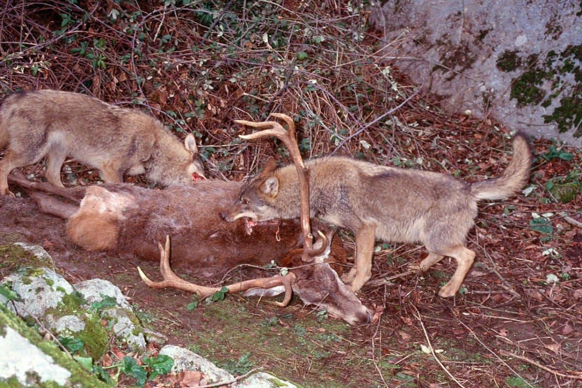 Ecologistas piden una compensación de daños por el impacto del lobo ibérico