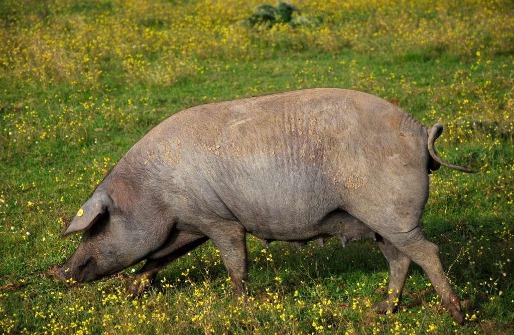 Extremadura espera celebrar seis certámenes de ganado selecto este año