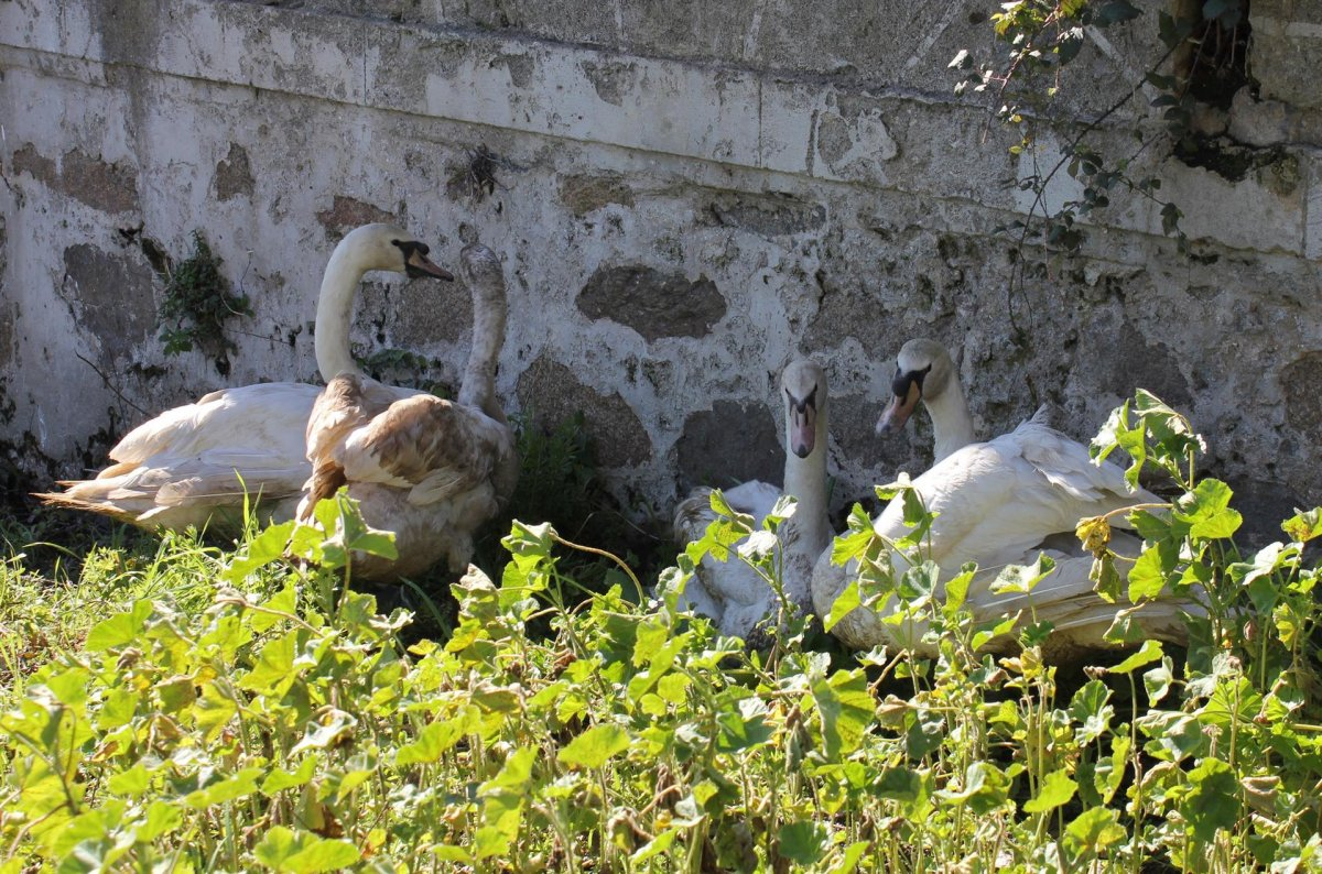 Regalan cuatro cisnes que vivirán en el río Pontones de Arroyo de la Luz