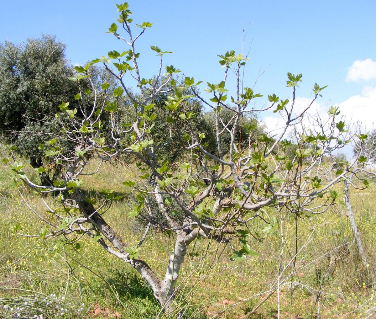 Extremadura comienza a analizar las variedades de higos resistentes a la sequía