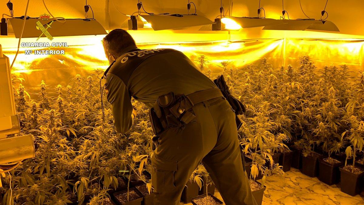 Video: Operación de la Guardia Civil en Villa del Campo con dos detenidos y 303 plantas de marihuana incautadas
