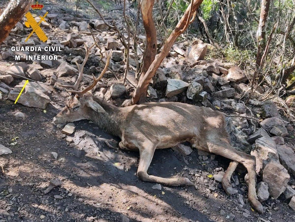 Investigado un vecino de Herrera del Duque por cazar un ciervo con lazos artesanales