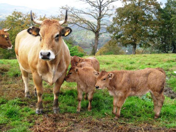 Las solicitudes de ayudas al mantenimiento de vacas nodrizas están en trámite de audiencia