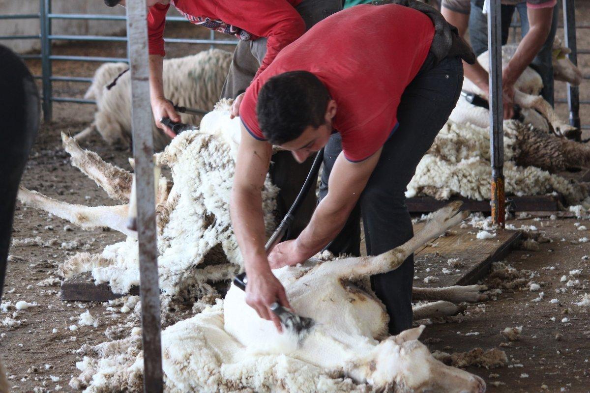 Un grupo de 30 esquiladores uruguayos introduce la cepa brasileña en Extremadura