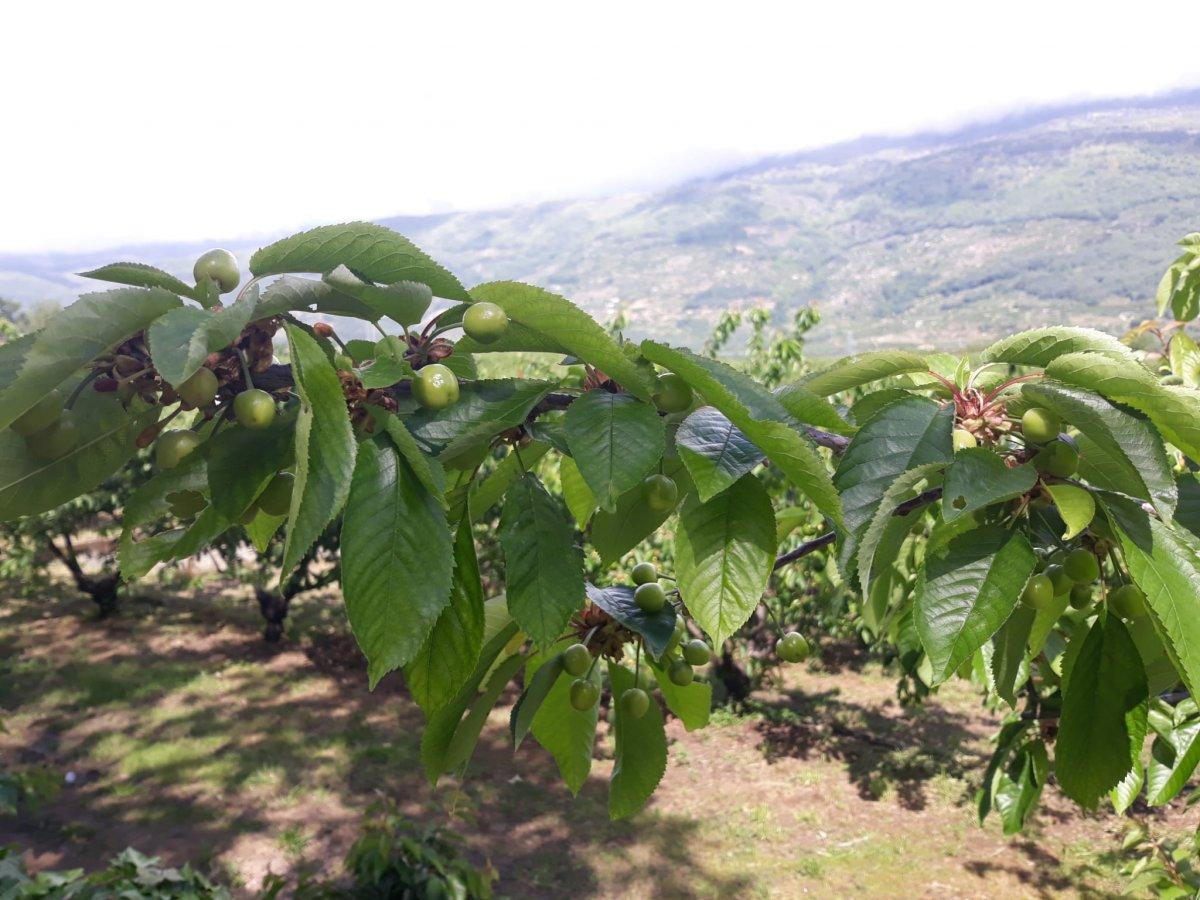 Un grupo de investigadores analiza las primeras cerezas de la temporada