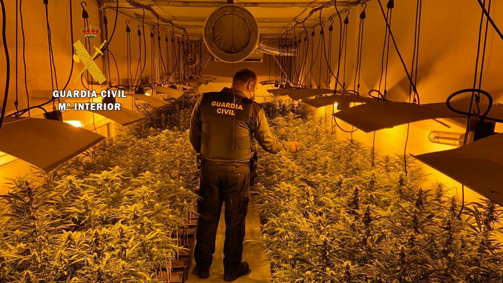 La Guardia Civil desmantela en Miajadas una plantación de marihuana con más de 600 plantas