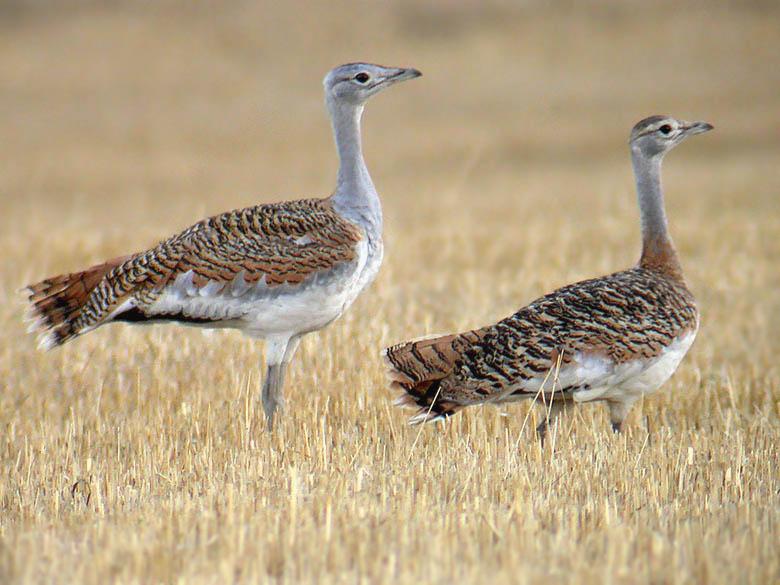 Hasta el 60% de las aves esteparias sufre algún grado de amenaza en la actualidad