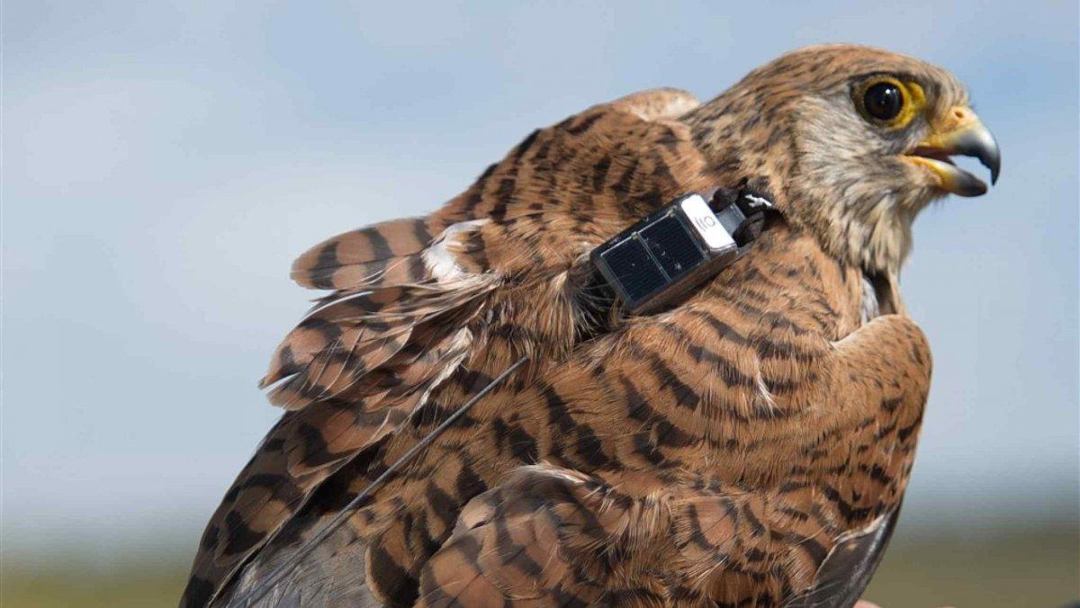 Colocan emisores GPS a 15 cernícalos primilla de Trujillo para conocer su alimentación y movimientos