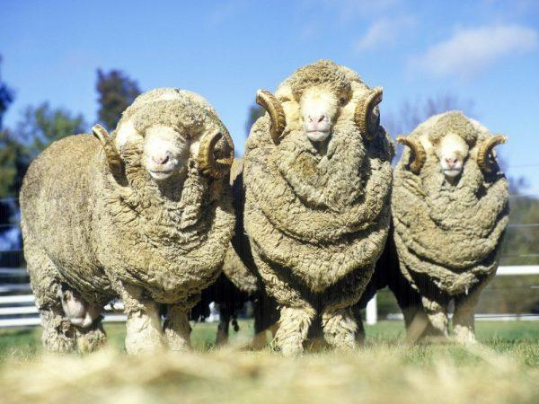 Los primeros corderos merinos australianos de España pastan en la comarca de La Serena