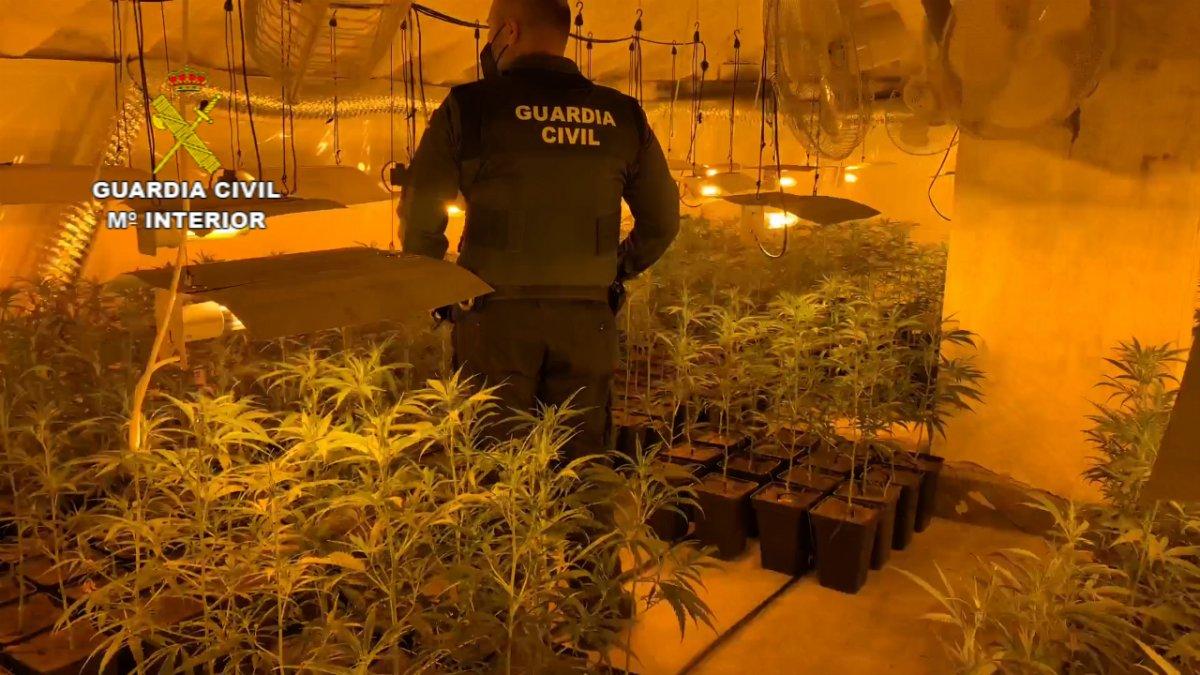 La Guardia Civil interviene más de 1.300 esquejes de marihuana y 1.600 plantas en Miajadas y Escurial