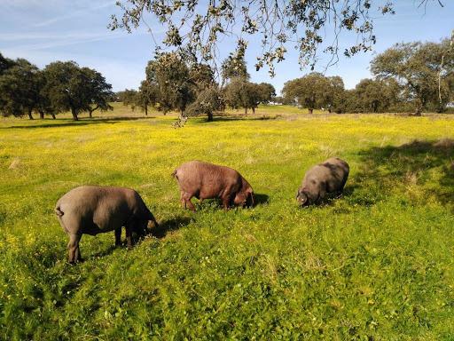 Extremadura autoriza movimientos extraordinarios de ganado porcino para aprovechar la montanera