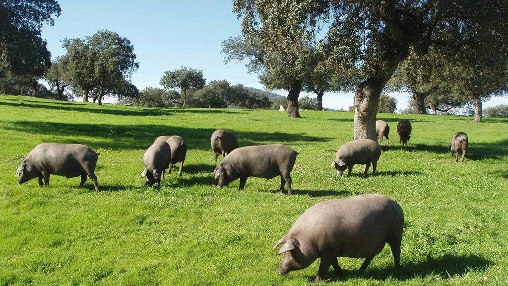 ¿Cuándo se pueden denominar productos de bellota la carne, jamón, paleta y caña de lomo ibérico de Extremadura?