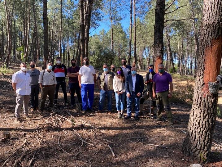 El aprovechamiento resinero de los pinos tendrá ayudas directas en Extremadura