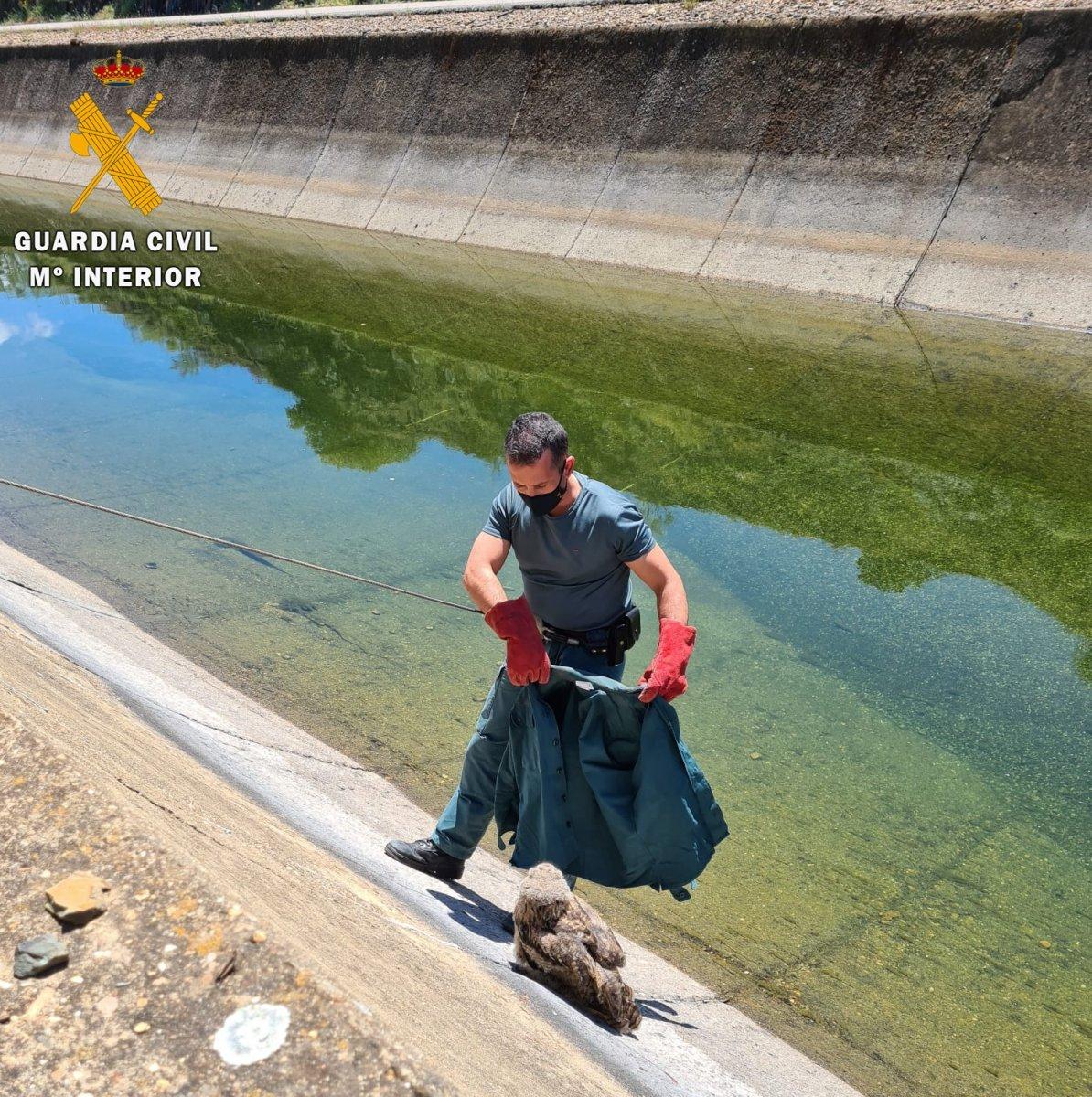 La Guardia Civil rescata un ejemplar de Búho Real atrapado en un canal en Casas de Don Pedro