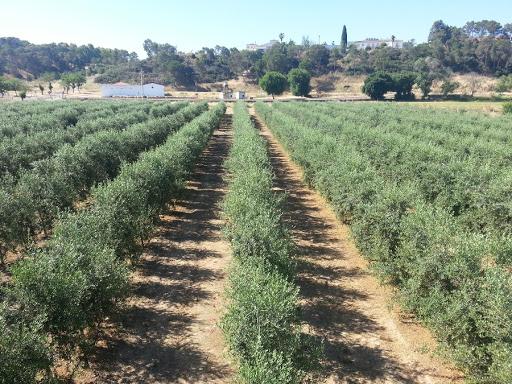 Agricultura abona casi 7 millones de euros para ayudar a la producción integrada del olivar