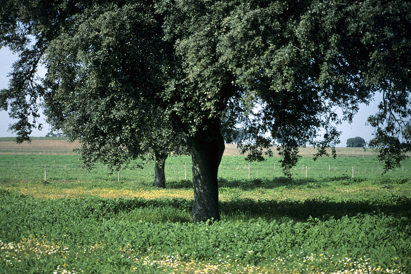 Extremadura destina cinco millones de euros para regenerar terrenos adehesados