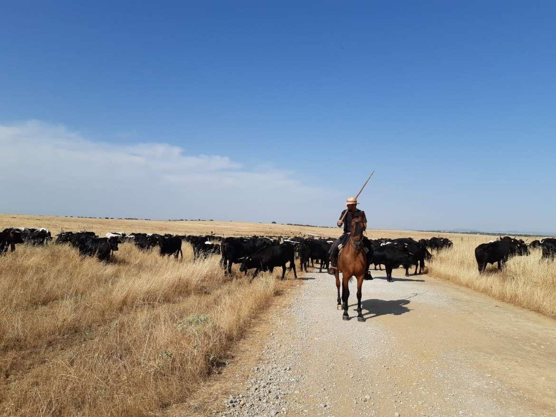 Unas 800 vacas recorren los caminos trashumantes de Extremadura para llegar a Tornavacas