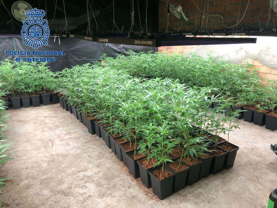 Detenida en Mérida una mujer con más de 490 plantas de marihuana en su vivienda