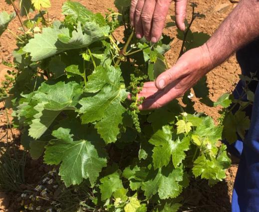 APAG Extremadura Asaja estima una bajada en la producción de uva del 35% en blanca y 45% en tinta