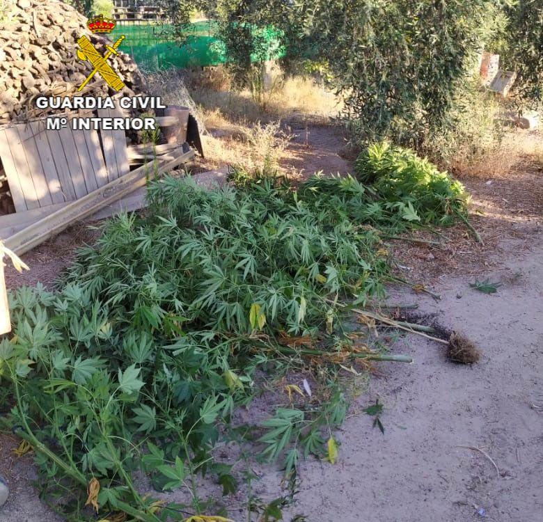 VIDEO: La Guardia Civil detiene a dos personas por el cultivo de marihuana con la aprehensión de 43 plantas