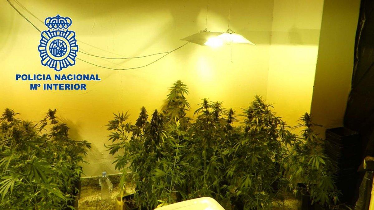 Detenidos dos hombres por cultivar más de 80 plantas de marihuana y defraudar fluido eléctrico en Don Benito