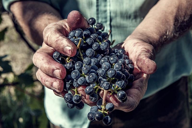 """UPA- UCE asegura que el precio de la uva """"llevará a los productores a la ruina"""""""